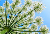 cow parsley, another natural fractal