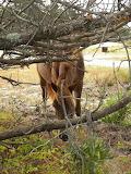 Maryland pony