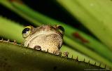 """Animals """"Tree frog"""" """"Cuyabeno Reserve, Ecuador"""" """"© Gerhard Hüde"""