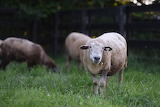 New Sheep 1