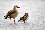 DucksOnFrozenLake