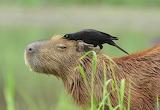 Capybara on Pantanal, Brazilia