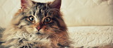 maine-coon-cat-fluffy-pet
