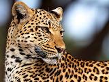 ~ Legadema, Movie Star Leopard...