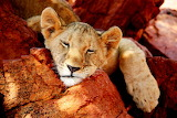 Cub Snooze