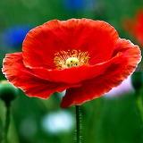 Red Poppy...