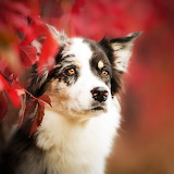 The Border Collie...