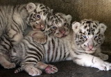 Cats - Three white tiger cubs
