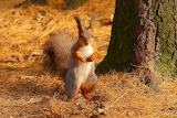 ☺ Red squirrel...