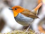 Japanese Robin bird