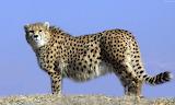 Asiatic Cheetah, Iran