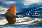 Jason Savage Photography Shark Fin