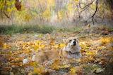 Corgi, dog, animal, forest, trees, foliage, autumn