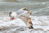 Seagull hunting for starfishes