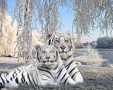 Winter white tigers