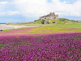 Bamburgh Castle and wildflowers