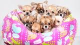 Many Dogs Chihua