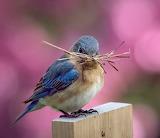 Bluebird with pine needles