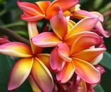 Fiori-hawaiani-varietà-più-colorate-ed-esotiche-1024x848