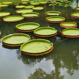 Large water lily leaves