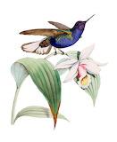 "Birds ""Velvet-Purple Coronet"" Hummingbird"