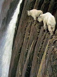Mountain Goats at scary heights