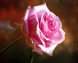 Beautiful Pink Rose...