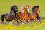 The horses run in the flowery meadow