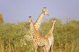 Giraffe Family - African Safari