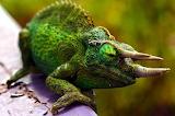 horned chameleon photo