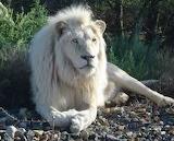 Lion (5)