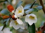 Michelia Yuannensis
