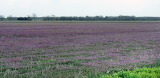 Westward to Miami, a Field of Purple