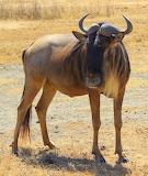 Wildebeest ~ Ngorongoro Crater
