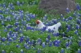 Spring Bluebonnets Chicken
