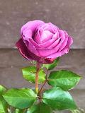 Beautiful Pink Rose. Photo Credit: Noriko Takehara
