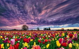 Field of flower with black clouds