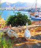 Geese in Hersonissos port