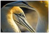 Pair of Gannets by Paul Kettel