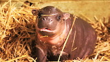 #Baby Hippo