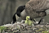 Goose and Gosling Delnor Woods