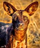 Painted Wild Dog ~ Kenya