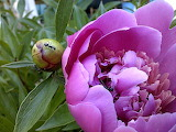 Peony and Ant