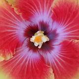 hibiscus 'Acapulco Gold'