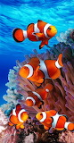 Coral reef clown fish