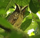 Crested Owl, Osa Peninsula