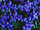 #Blue Tulips