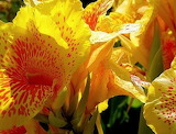 Canna-Most-Beautiful-Flower-in-the-World-Ideas-1