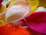 Rose Petals @ freeimages...
