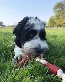 Hugo the Sproodle Springer Poodle